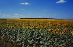 Frankreich: Sunflowerfield im Rennes-les-Chateau stockfotos