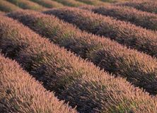 Frankrijk: Een lavendelaanplanting in de Provence stock fotografie