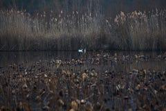 Frankrijk, Mougin die, de Provence, Eend in een vijver zwemmen Stock Foto