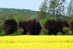 Frankrike blommar det ljusa gula fältet av Canola med trädet för röd lönn royaltyfria bilder