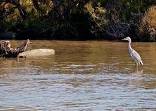 Frankrike Camargue fåglar på floden RhÃ'ne Royaltyfri Foto