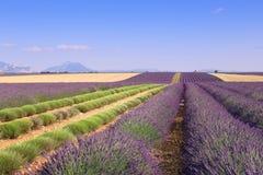 Frankrike landskap av Provence: Skördlavendelfält Arkivfoto