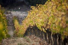 Frankrike svartvinbärsläsk, vingården royaltyfri fotografi