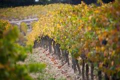 Frankrike svartvinbärsläsk, vingården royaltyfria foton