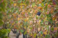 Frankrike svartvinbärsläsk, vingården arkivfoton
