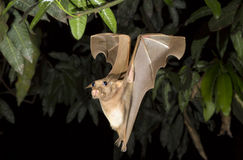Franquet's epauletted fruit bat (Epomops franqueti) flying at night. Royalty Free Stock Image
