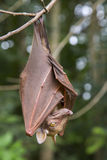 Franquet's epauletted fruit bat (Epomops franqueti) hanging in a tree. Ghana Stock Images