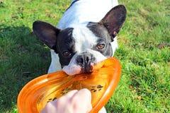 Frans buldog het spelen hondstuk speelgoed royalty-vrije stock afbeelding