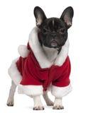 Frans buldogpuppy dat de uitrusting van de Kerstman draagt royalty-vrije stock foto