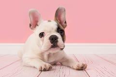 Frans buldogpuppy die de camera bekijken die op de vloer in het roze woonkamer plaatsen liggen stock foto