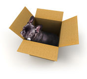 Frans buldogpuppy in een doos royalty-vrije stock afbeeldingen