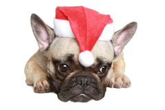 Frans buldogpuppy in Kerstmishoed Stock Foto
