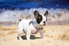 Frans buldogpuppy op het strand stock afbeeldingen