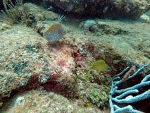 Frans gegrom die onder koraal zwemmen royalty-vrije stock foto's