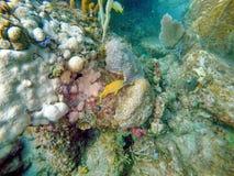 Frans gegrom die onder koraal zwemmen royalty-vrije stock fotografie