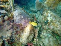 Frans gegrom die onder koraal zwemmen royalty-vrije stock foto
