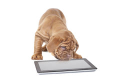 Frans Mastiffpuppy met digitale tabletcomputer stock foto