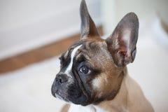 Frans nieuwsgierig buldogpuppy, witte bruin, stock foto