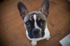 Frans zoet buldogpuppy, witte bruin, offerte stock foto's