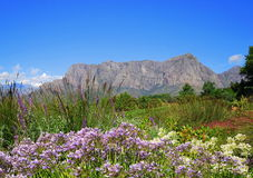 Franschhoek in South Africa's Winelands. Majestic mountains, blue skies and beautiful flora make up the picturesqe winelands of the Cape Royalty Free Stock Image