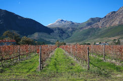 Franschhoek Vineyards Stock Photography