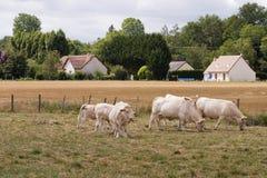 Franse blonde koeien stock afbeelding