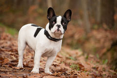Franse buldog in the autumn stock photo