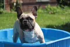 Franse buldog in de pool Royalty-vrije Stock Foto's