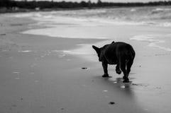 Franse Buldog door de oceaan Stock Foto