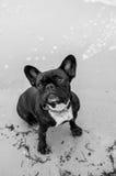 Franse Buldog door de oceaan Stock Foto's