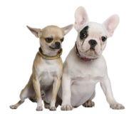Franse buldog en Chihuahua Stock Afbeelding