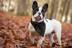 Franse buldog in the forest Stock Image