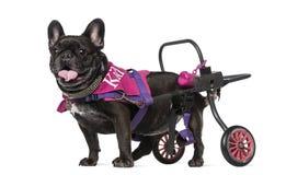 Franse Buldog (7 jaar oud) in een rolstoel Stock Fotografie