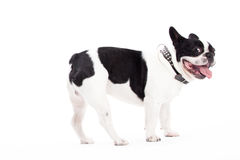 Franse buldog is looking Stock Photo