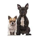 Franse Buldog (7 maanden oud), Chihuahua (3 jaar oud) Stock Foto's