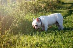 Franse buldog met smileygezichten die op gras lopen Gelukkige hond por Royalty-vrije Stock Afbeelding