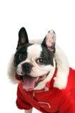 Franse buldog in rood jasje Royalty-vrije Stock Foto