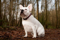 Franse buldog sitting in the forest Royalty Free Stock Photography
