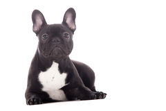Franse buldog on white stock images