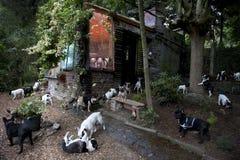 Franse buldoggen in een tuin royalty-vrije stock foto's