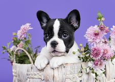 Franse buldogpuppy en bloemen Royalty-vrije Stock Foto's