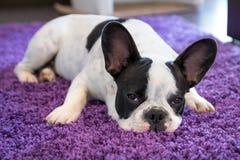 Franse buldogslaap op het tapijt stock foto
