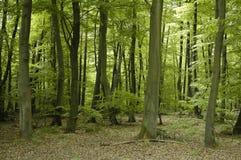 Franse eik en beuk bosbomen Stock Afbeelding