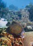 Franse engelenvissen Royalty-vrije Stock Afbeelding