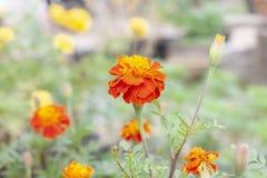 Franse goudsbloem of calendulabloem die in de tuin tot bloei komen stock foto