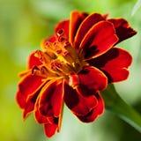 Franse goudsbloem (Tagetes-patula) Royalty-vrije Stock Fotografie