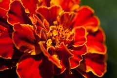 Franse goudsbloem (Tagetes-patula) Stock Fotografie
