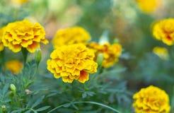 Franse Goudsbloem of van Tagetes Patula bloem dichte omhooggaand stock foto