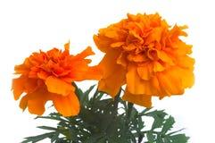 Franse goudsbloemen stock afbeelding