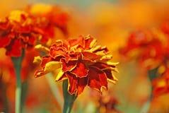 Franse goudsbloemen Stock Foto's